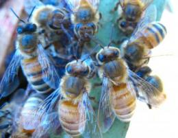 Honey bees fight back against Varroa
