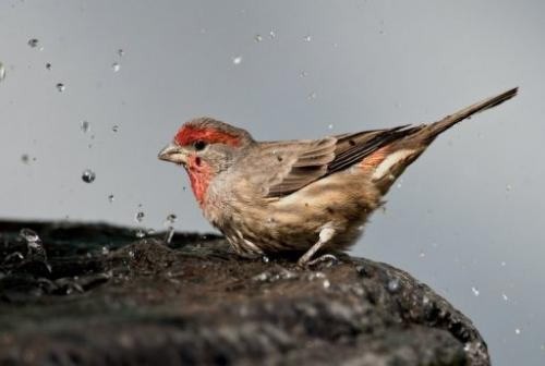 House finches avoid sick members of their own species, scientists claim