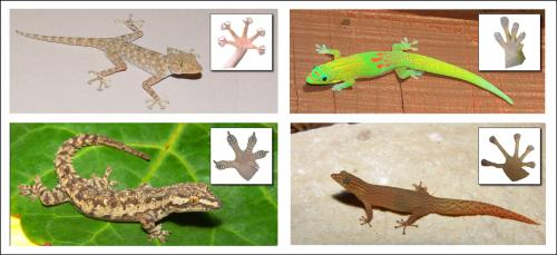 How sticky toepads evolved in geckos and what that means for adhesive technologies