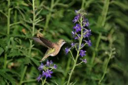 Where have all the hummingbirds gone?