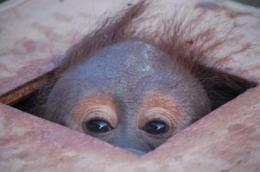 Illegal orangutan trader prosecuted
