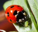 I'm bright red and I taste foul - the message behind color and the ladybird's spots