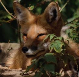 Increase in Lyme disease mirrors drop in red fox numbers: study