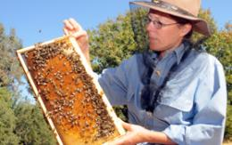 Increasing genetic diversity of honey bees needed