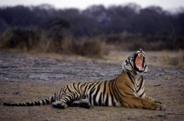 India is home to half of the world's dwindling wild tiger population
