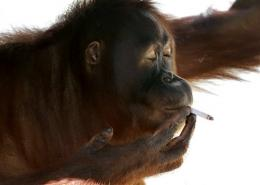 Indonesia to help smoking orangutan kick the habit