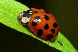 Introduction of Asian ladybirds into Europe serious mistake