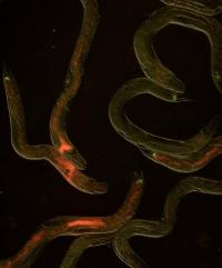 Jekyll and Hyde bacteria aids or kills, depending on chance