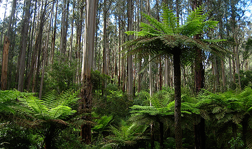 Key to survival of forest giants revealed