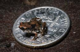 New frog species is world's smallest vertebrate