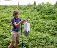 Kudzu vine key to kudzu bug's survival
