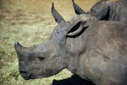 Last year poachers killed 448 rhinos in South Africa, up from 333 in 2010 and just 13 in 2007