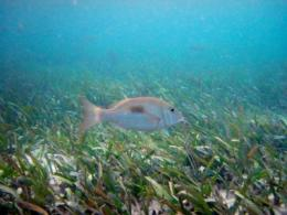 Little clams play big part in keeping seagrass ecosystems healthy, new study finds