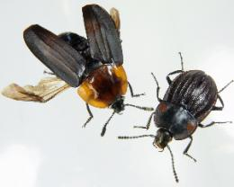 Loss of flight promotes beetle diversification