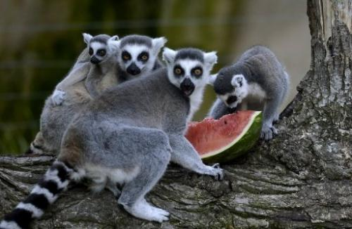 Madagascar's lemurs are among the world's most threatened primates