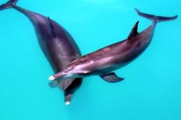Male dolphins build complex teams for social success