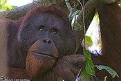 Male orangutans need quality forests