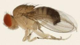 Drosophila mauritiana