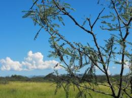Mesquite trees displacing Southwestern grasslands