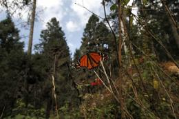Mexico's monarch butterfly  reserve stops logging