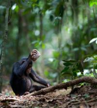 Neighboring chimp communities have their own nut-cracking styles