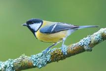 Mobs rule for great tit neighbours