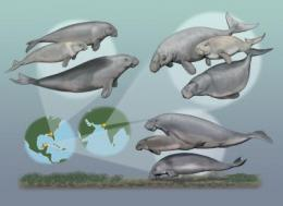 Multiple species of seacows once coexisted: study