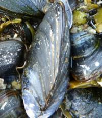 Mussel power: Ocean shells can help predict rise in sea levels