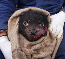 Mystery of Tasmanian devil tumour deepens - for now