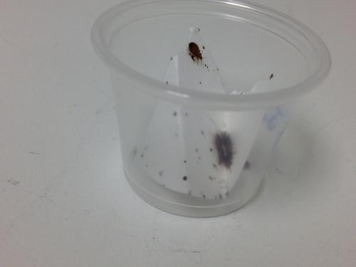 Natural fungus may provide effective bed bug control