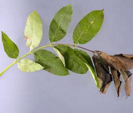 New genetics project could help save the ash tree