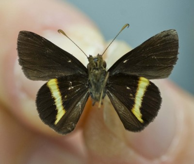 New Jamaica butterfly species emphasizes need for biodiversity research