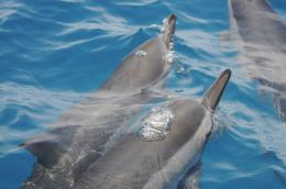 New maps may reduce tourism impacts on Hawaiian dolphins