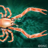 New reclusive crab species found tucked away on Galician seabed