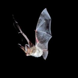 New website calls for help from bat detectives