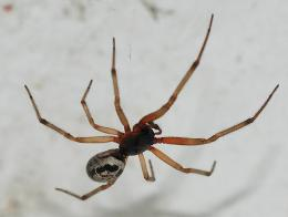 Noble false widow spider marches north in the UK
