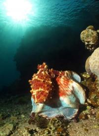 Octopuses focus on key features for successful camouflage