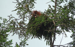 Orangutan nests reveal engineering expertise