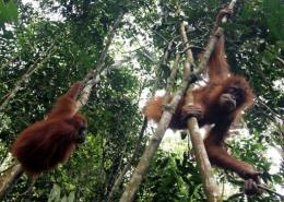 Orangutans hang loose at the Gunung Leuser National Park