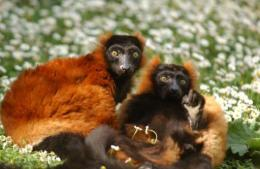 Over 90 percent of the world's lemur species were upgraded to critically endangered, endangered, or vulnerable list