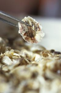 Ocean acidification linked to larval oyster failure