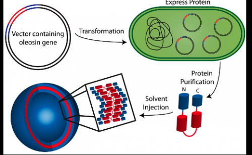 Penn engineers convert a natural plant protein into drug-delivery vehicles