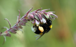 Pesticides hit bumblebee reproduction