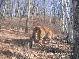 Photos of rare Amur tiger give hope to NE China's tiger recovery efforts