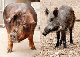 Pig genome offers insights into the feistiest of farm animals