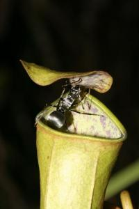 Pitcher plant uses power of the rain to trap prey