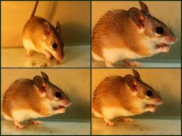 Plant poison turns seed-eating mouse into seed spitter