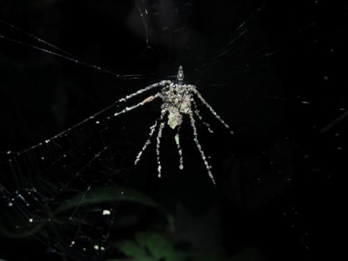 Possible new species of spider found that builds fake spider decoys