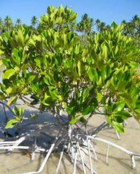 Preserve the services of mangroves -- Earth's invaluable coastal forests, experts urge