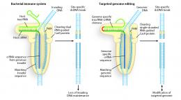 Programmable DNA scissors found for bacterial immune system